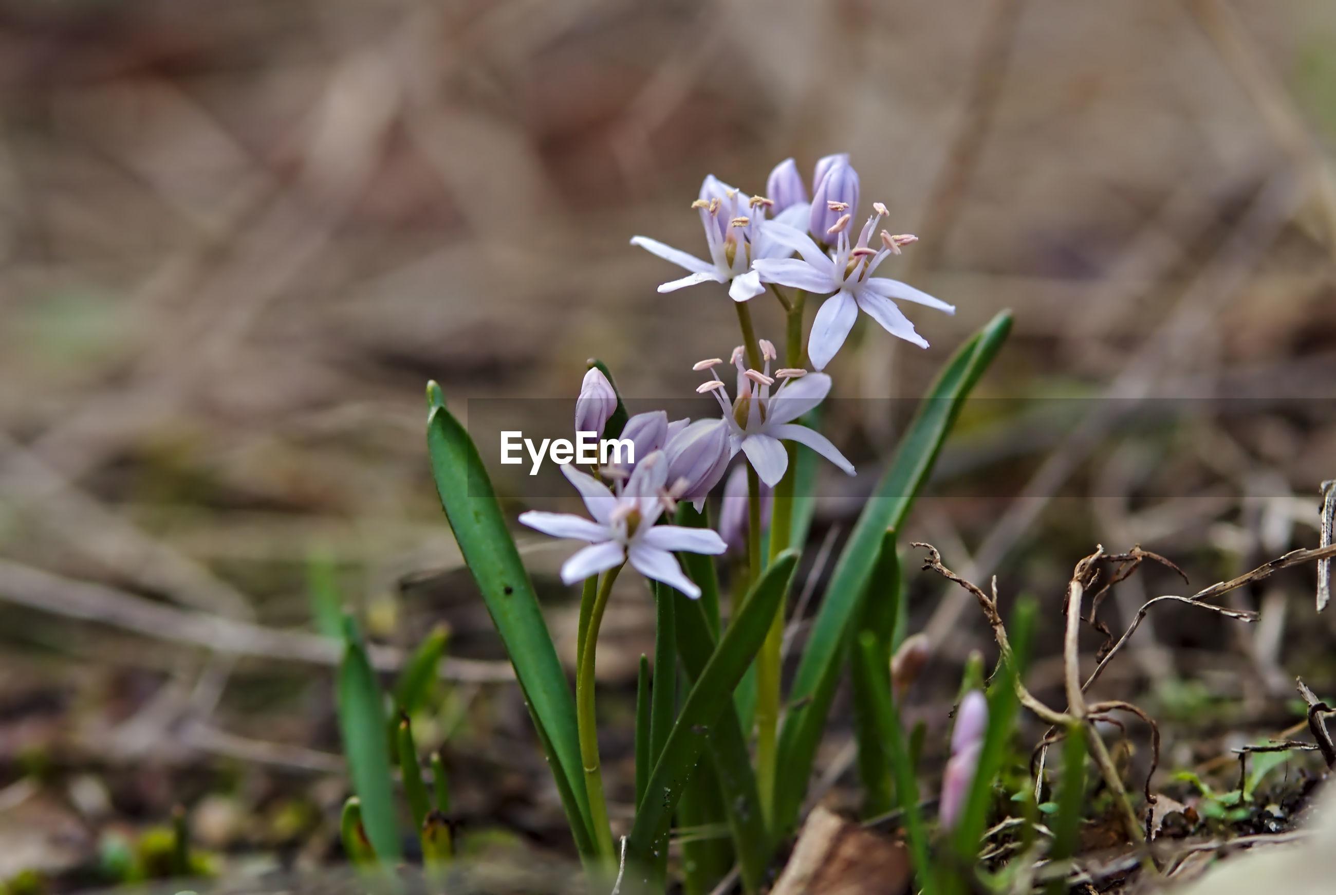 CLOSE-UP OF PURPLE WHITE FLOWER
