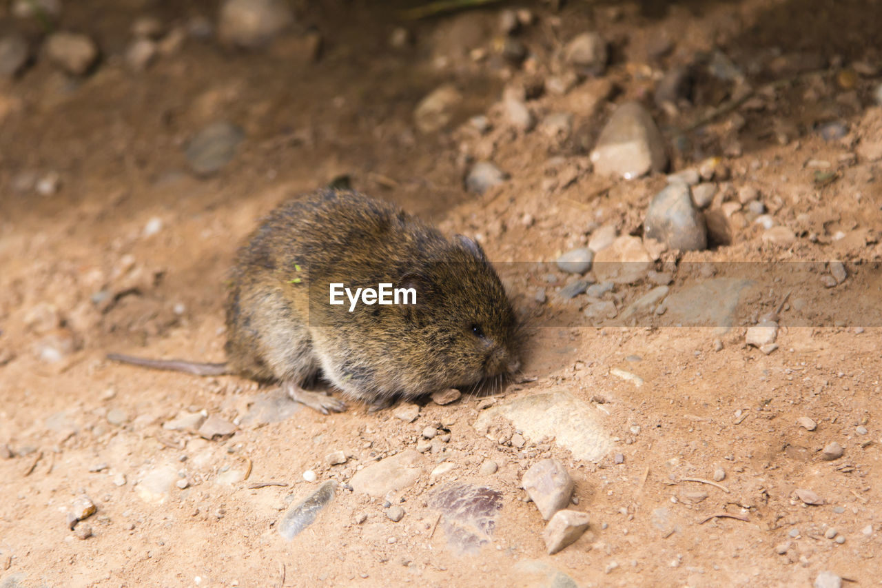 animal themes, animal, animal wildlife, one animal, animals in the wild, mammal, rodent, land, field, no people, vertebrate, day, nature, outdoors, close-up, solid, high angle view, sunlight, focus on foreground, rock