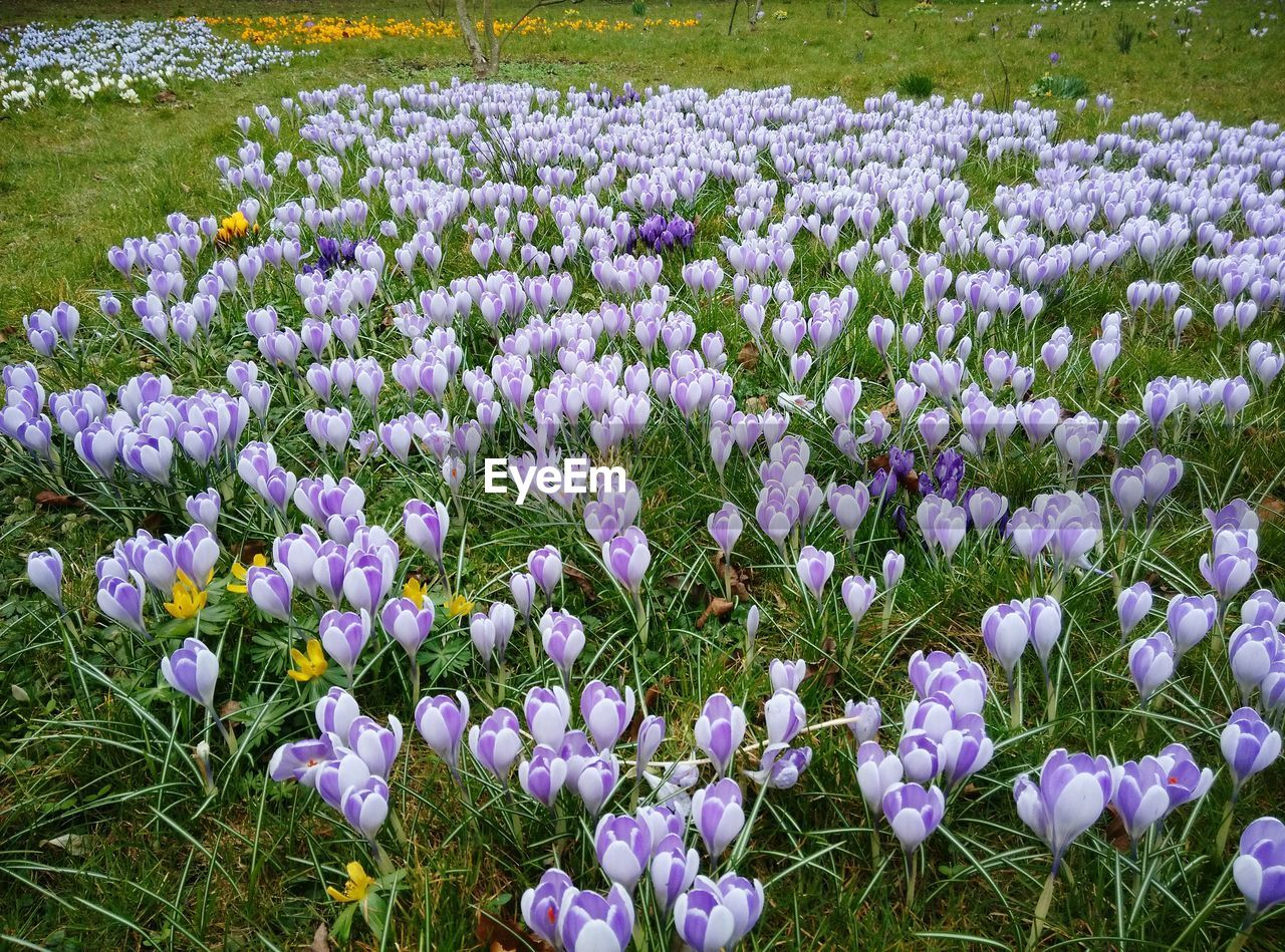 High Angle View Of Crocus Flowers Field In Garden