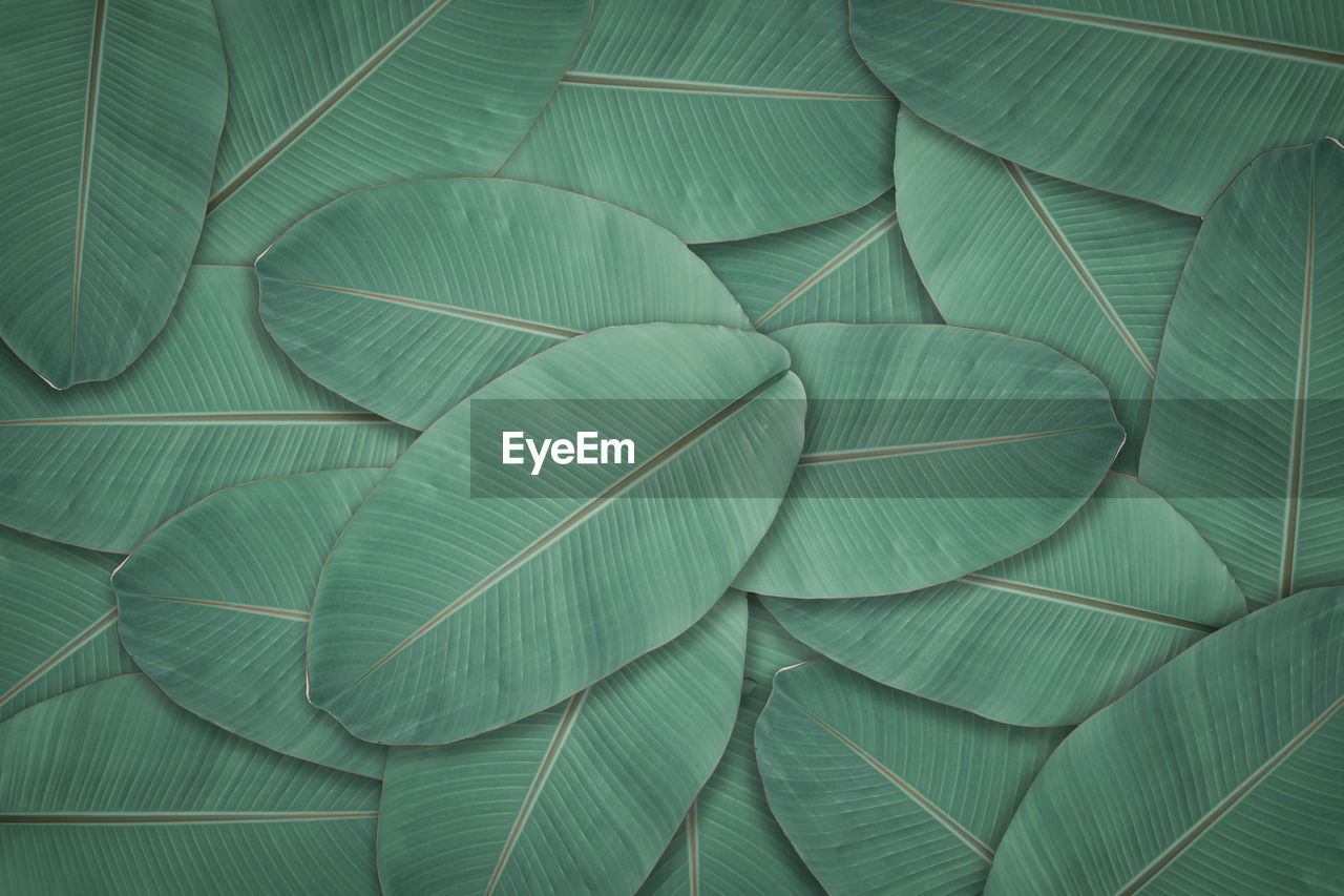 Dark green leaves texture background. natural leaf plant for backdrop or wallpaper.