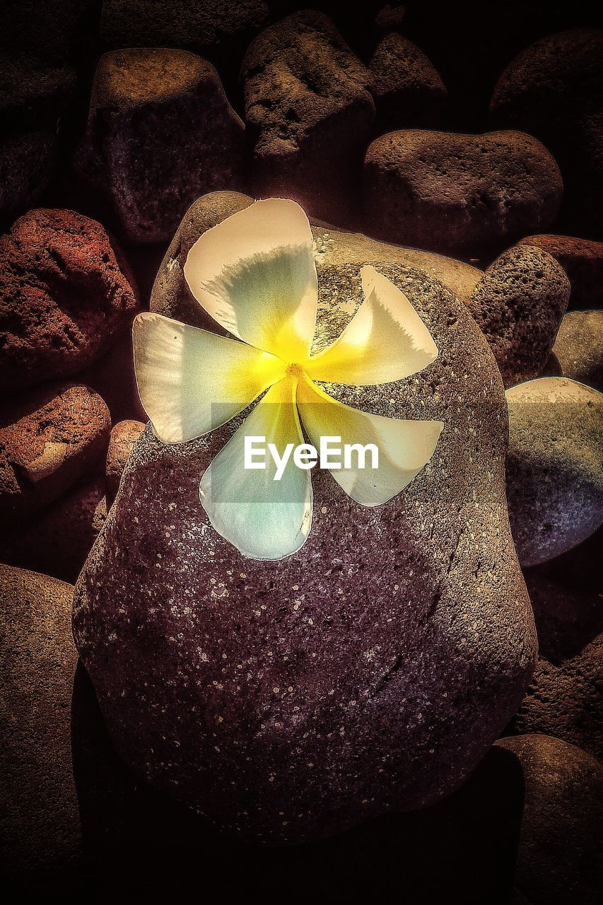 flower, beauty in nature, frangipani, nature, rock - object, petal, pebble, flower head, yellow, freshness, water, fragility, close-up, outdoors, no people, beach, day