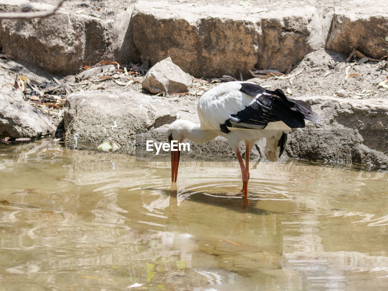 animals in the wild, one animal, animal themes, bird, animal wildlife, waterfront, day, water, reflection, no people, outdoors, nature