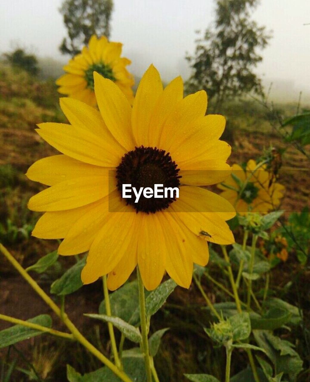 flower, yellow, petal, fragility, growth, nature, plant, flower head, focus on foreground, freshness, beauty in nature, day, field, outdoors, blooming, no people, close-up, black-eyed susan