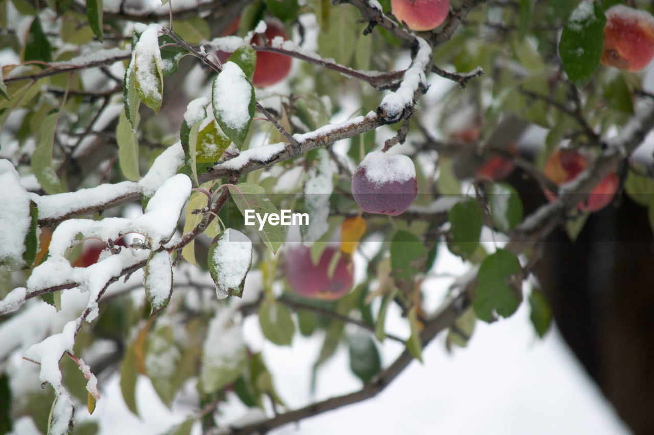 plant, growth, tree, branch, freshness, beauty in nature, healthy eating, food, fruit, close-up, food and drink, day, no people, nature, cold temperature, focus on foreground, leaf, winter, snow, plant part, outdoors, ripe