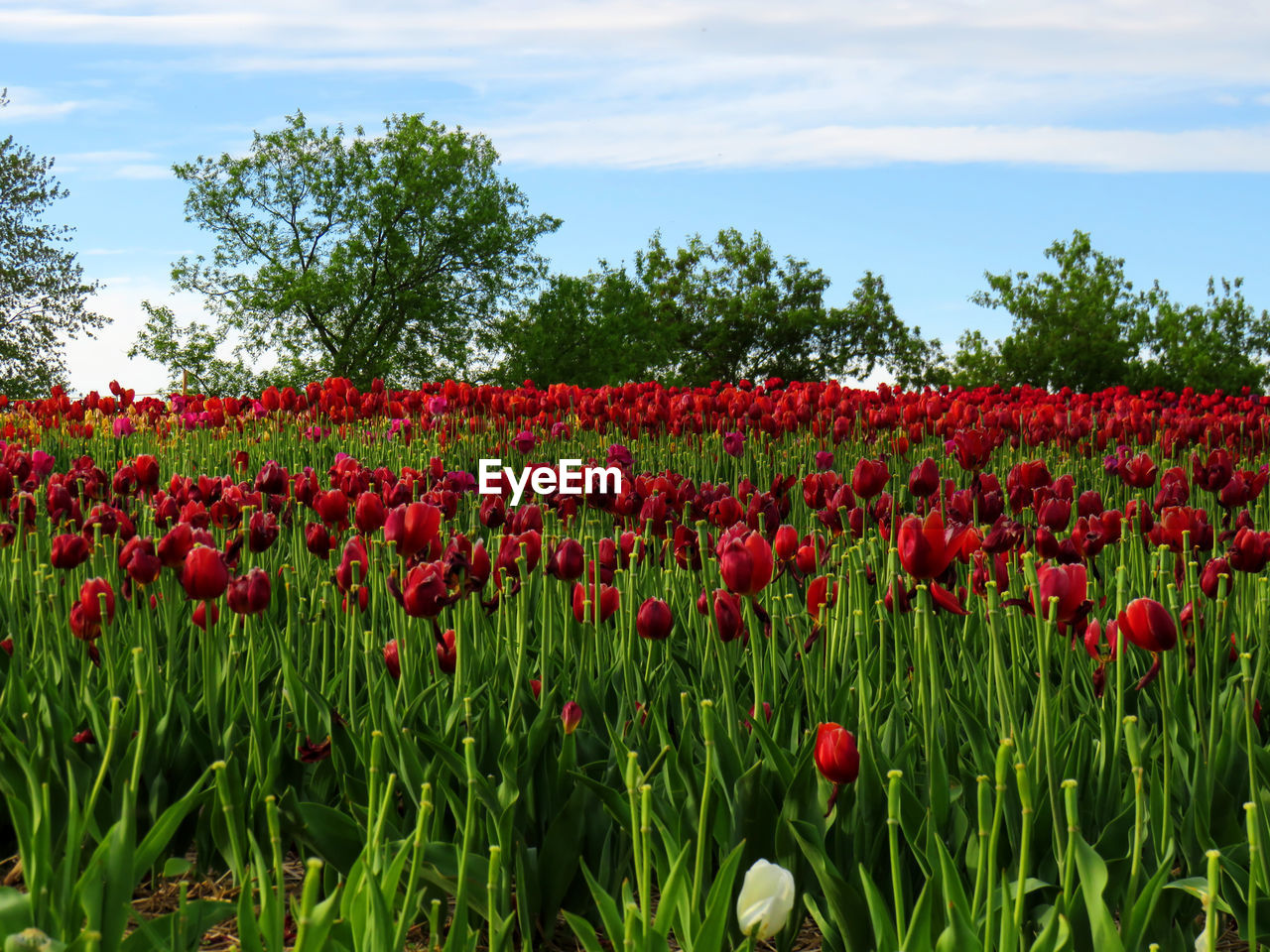 Red Tulips Growing On Field Against Sky