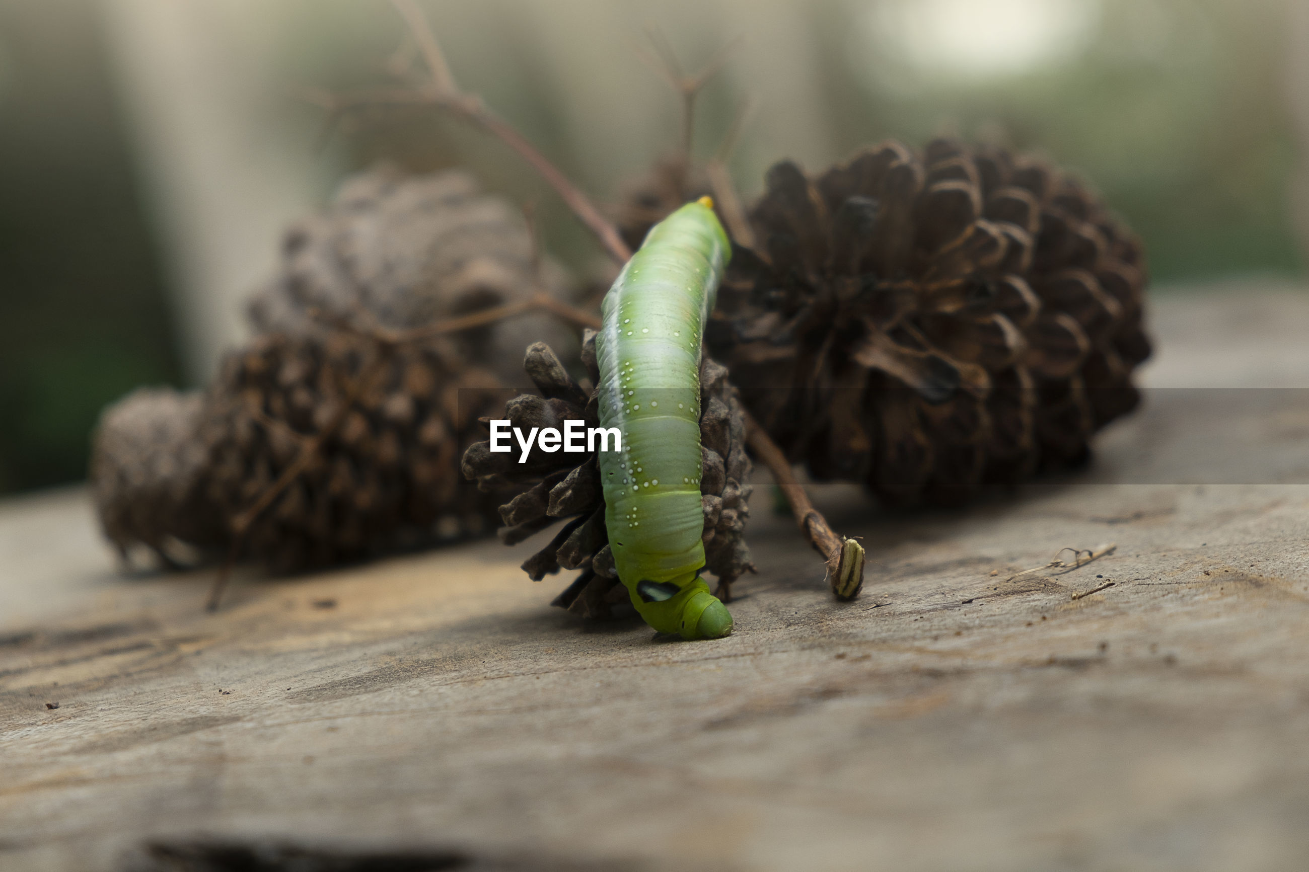 Green worm caterpillar animals on wood and pine cone blur background