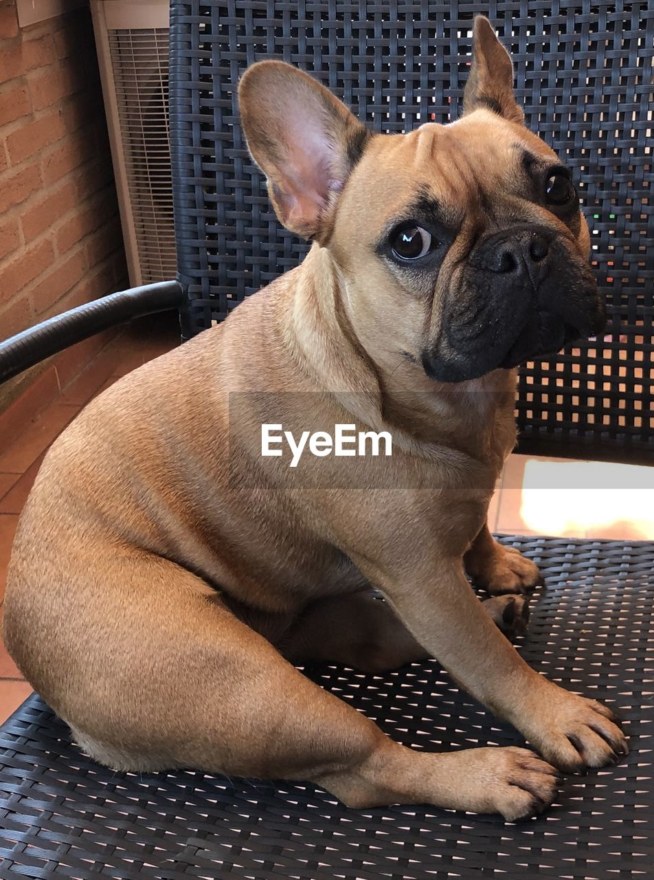 one animal, pets, domestic, animal themes, dog, domestic animals, canine, animal, mammal, vertebrate, indoors, no people, lap dog, relaxation, close-up, sitting, looking, french bulldog, home interior, looking away, small