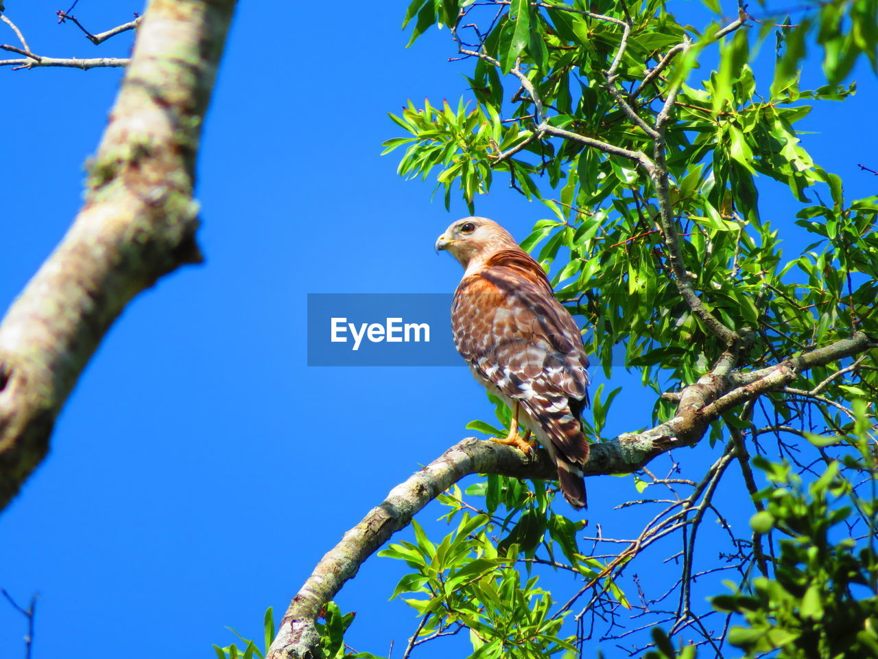 animal themes, bird, plant, animal, vertebrate, animal wildlife, animals in the wild, one animal, tree, branch, perching, low angle view, blue, sky, nature, no people, clear sky, day, growth, plant part, outdoors, eagle