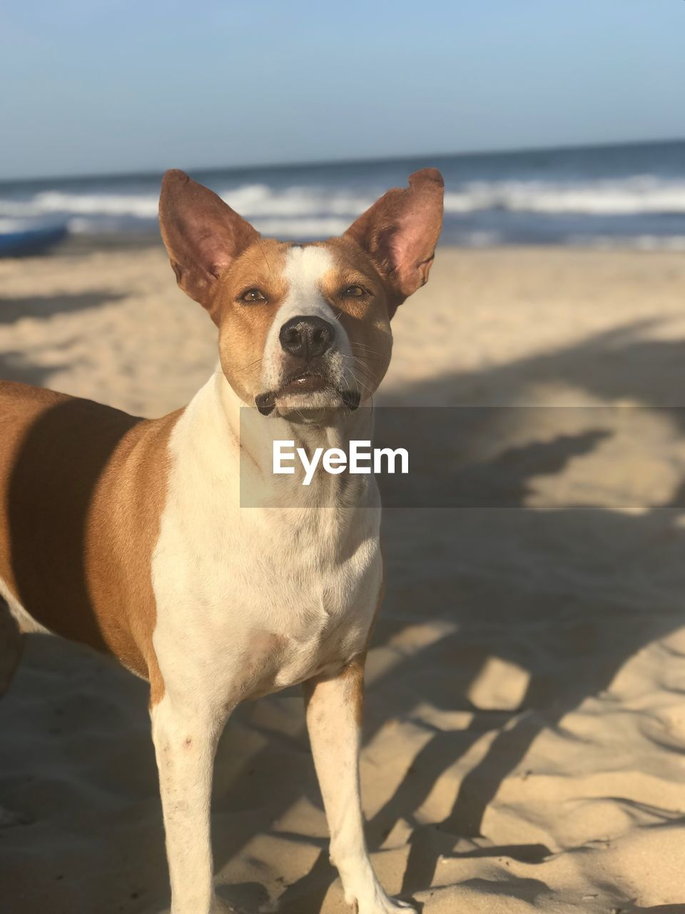 one animal, dog, canine, mammal, domestic, pets, domestic animals, land, animal themes, animal, beach, sea, sunlight, sand, vertebrate, nature, shadow, water, portrait, looking at camera, horizon over water, no people, small, purebred dog
