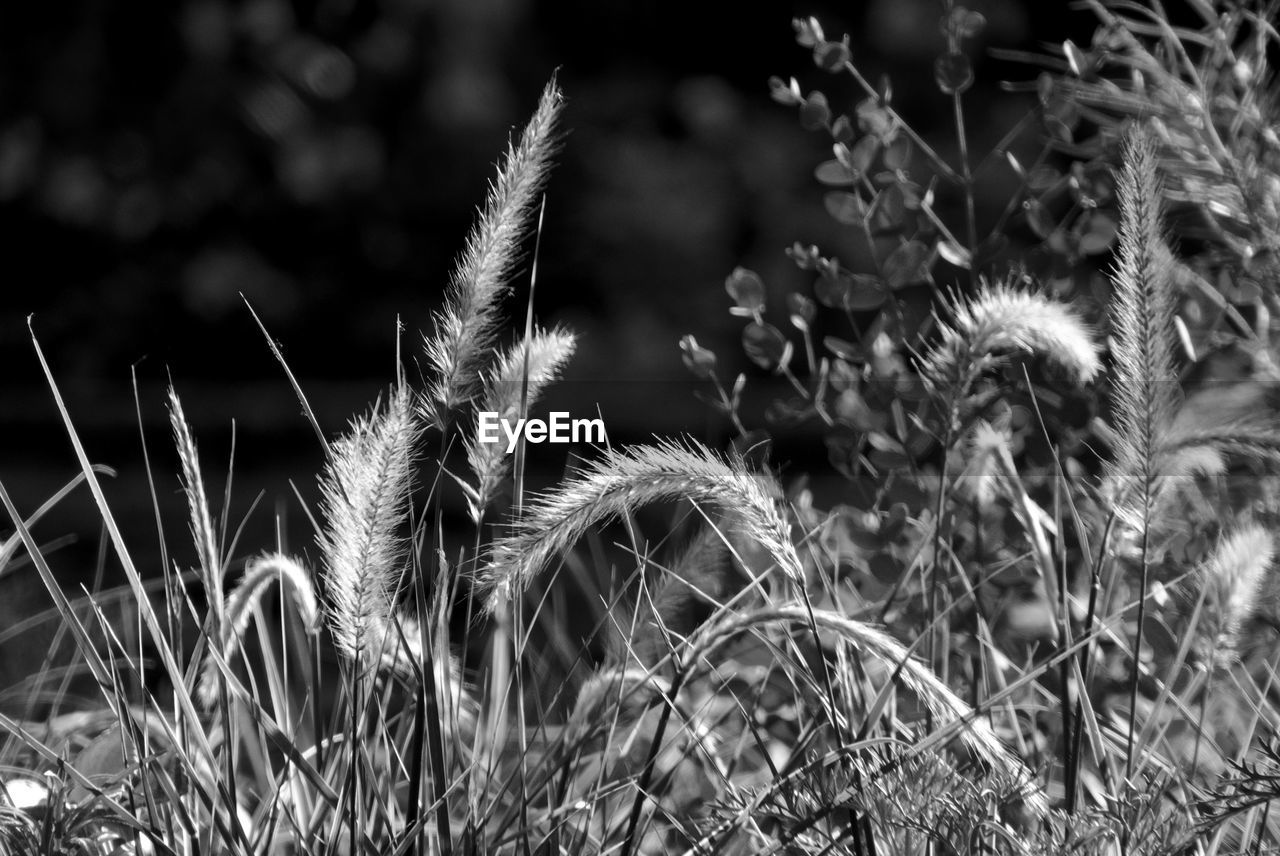 plant, growth, close-up, focus on foreground, beauty in nature, nature, day, no people, field, selective focus, land, tranquility, outdoors, flower, grass, flowering plant, freshness, fragility, vulnerability, spiked, timothy grass