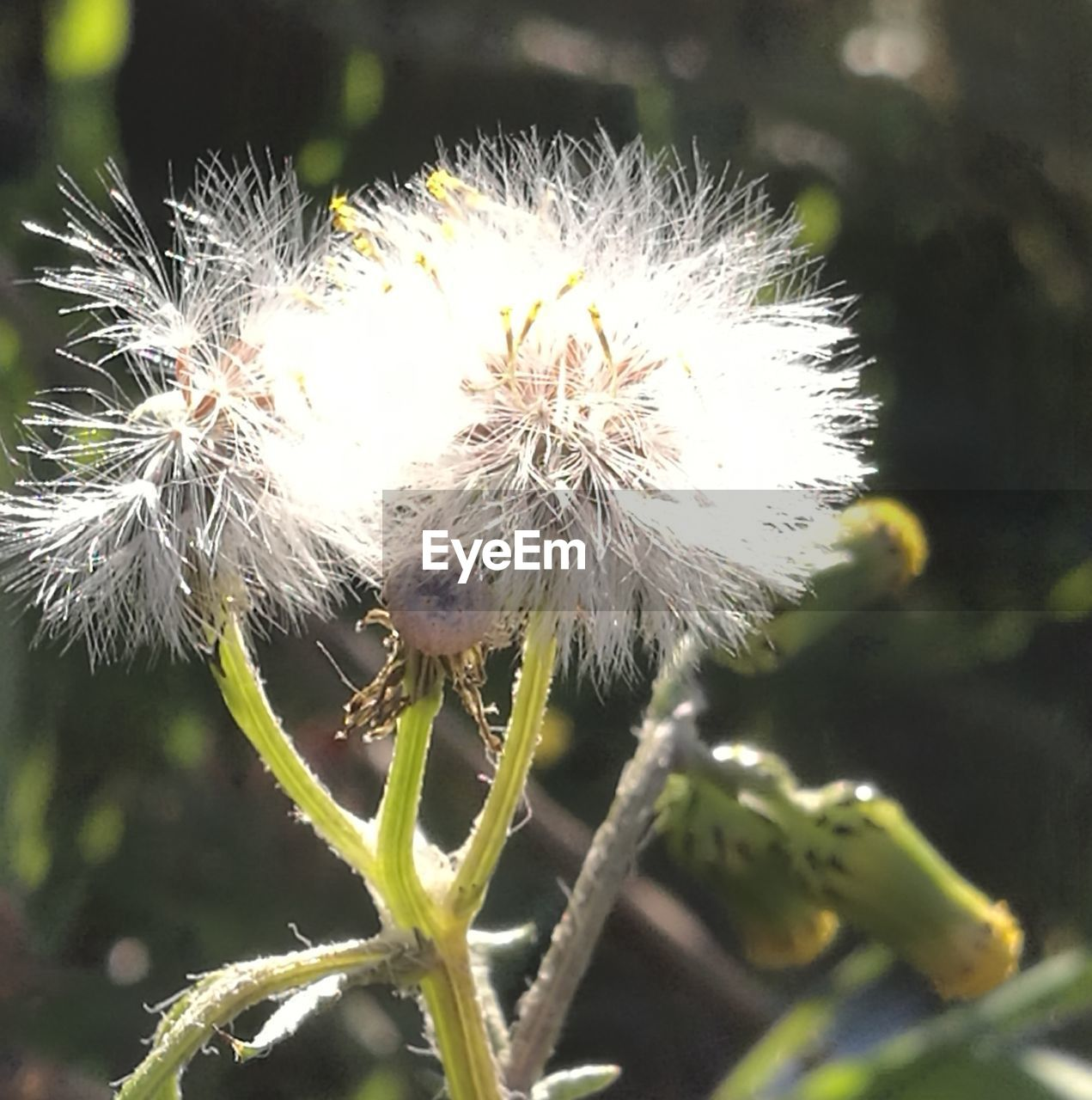 flower, nature, fragility, plant, dandelion, growth, beauty in nature, close-up, focus on foreground, outdoors, day, no people, freshness, flower head