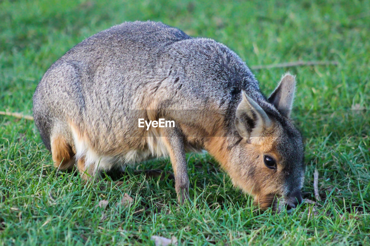 animal, animal themes, grass, mammal, one animal, animal wildlife, plant, animals in the wild, nature, no people, land, vertebrate, field, side view, day, green color, domestic animals, full length, young animal, outdoors, herbivorous