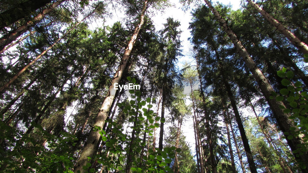tree, plant, low angle view, forest, tree trunk, land, trunk, woodland, beauty in nature, tranquility, tall - high, day, growth, nature, sky, no people, tranquil scene, scenics - nature, green color, outdoors, tree canopy, directly below, pine tree, pine woodland, rainforest, bamboo - plant, coniferous tree