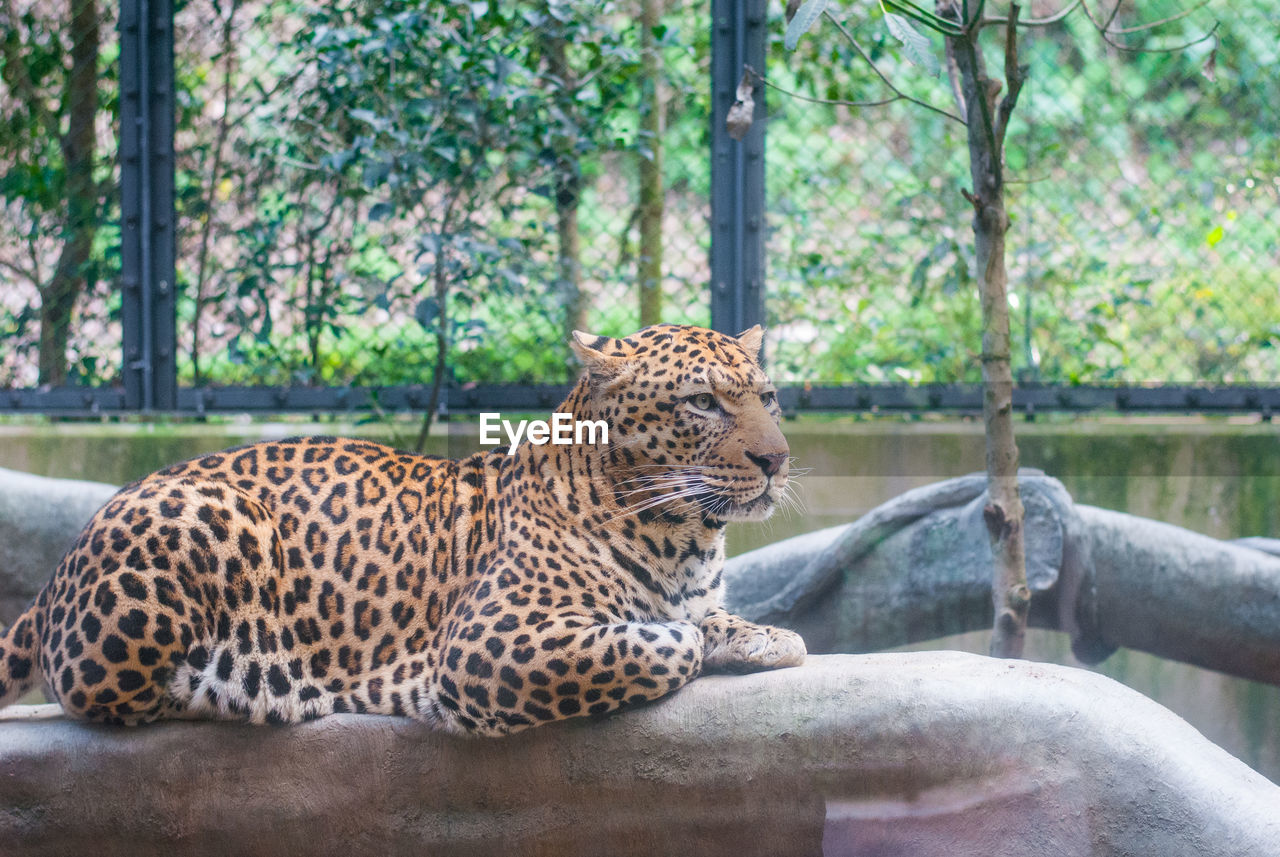 animal themes, big cat, animal, mammal, feline, one animal, zoo, animal wildlife, relaxation, cat, animals in the wild, animals in captivity, tree, vertebrate, focus on foreground, day, carnivora, resting, nature, no people, outdoors, whisker