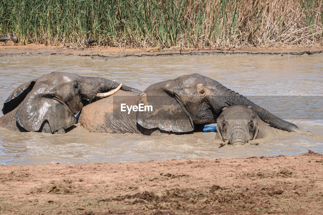 VIEW OF ELEPHANT RESTING ON RIVERBANK