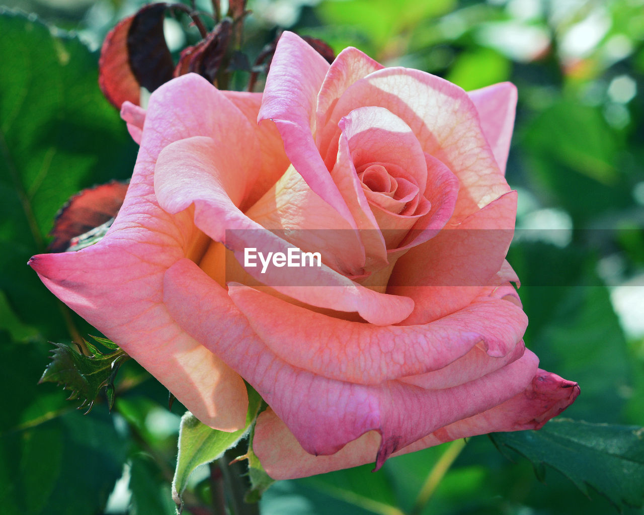 petal, flower, nature, beauty in nature, plant, flower head, pink color, growth, rose - flower, fragility, close-up, outdoors, no people, freshness, blooming, day