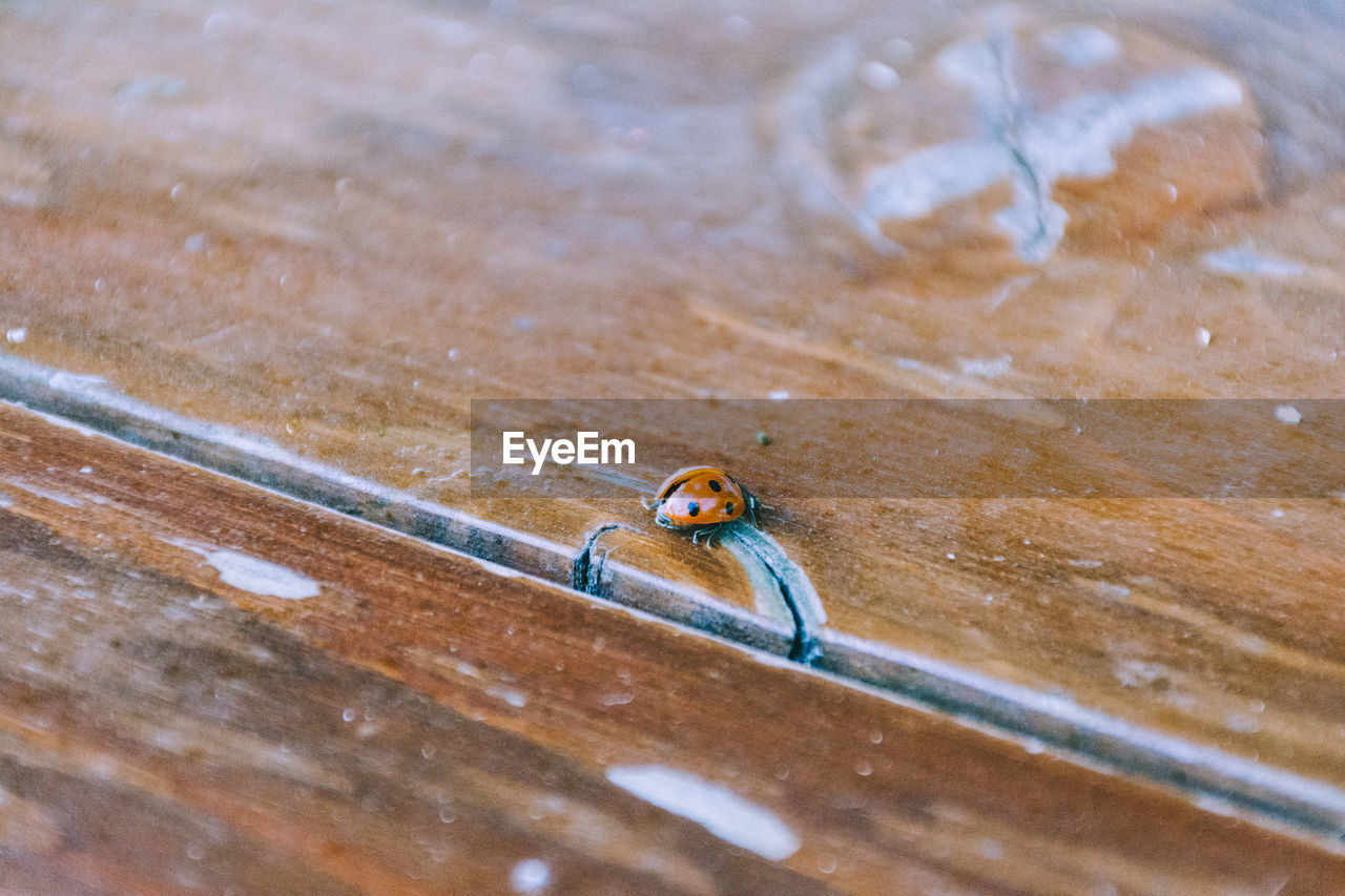 Close-Up Of Ladybug On Wooden Table