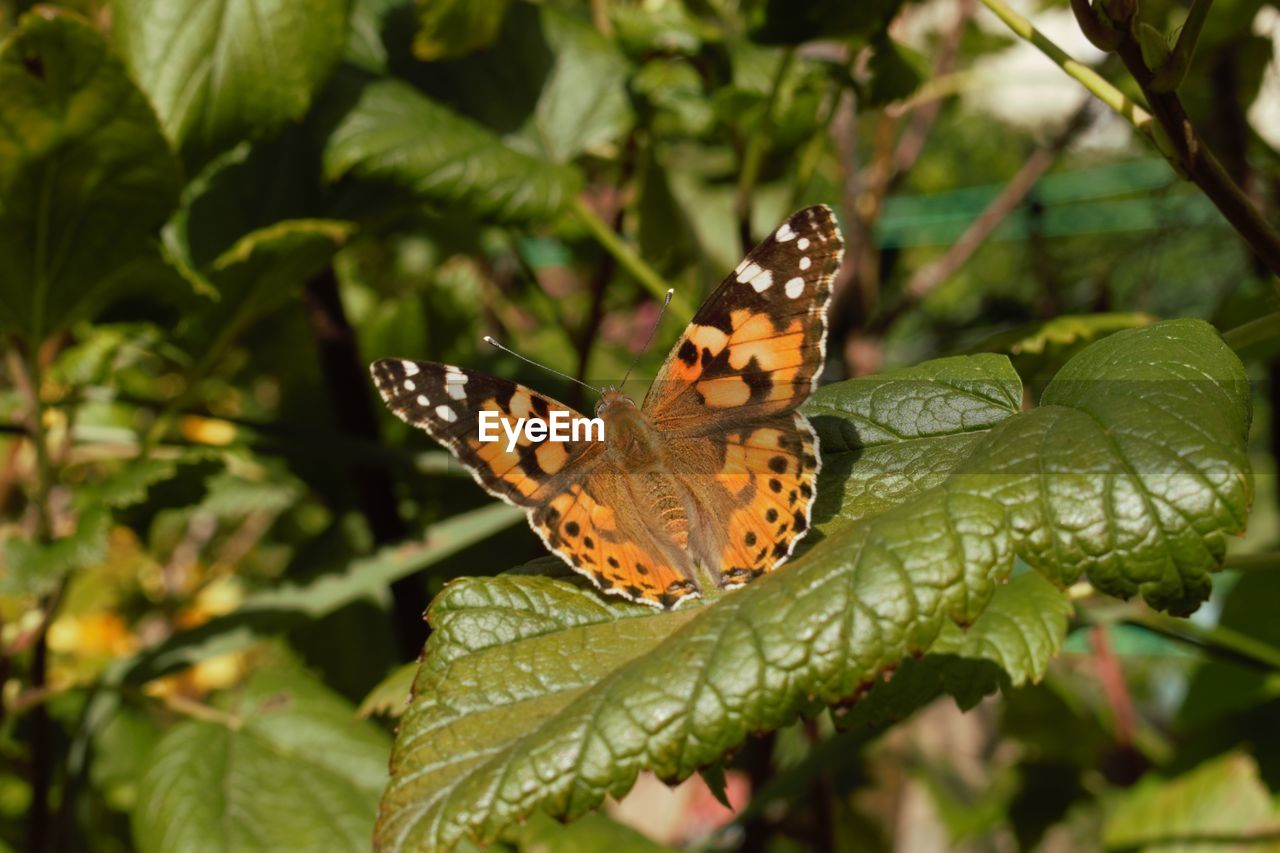 invertebrate, plant part, insect, animal wildlife, leaf, animal themes, animal wing, animal, animals in the wild, one animal, plant, butterfly - insect, beauty in nature, close-up, nature, focus on foreground, day, growth, no people, green color, outdoors, butterfly, leaves