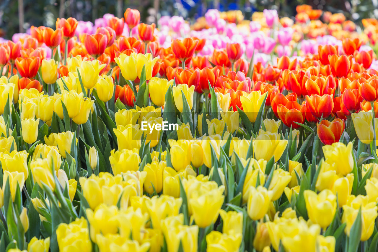 flowering plant, flower, freshness, vulnerability, plant, fragility, beauty in nature, yellow, tulip, flower head, inflorescence, close-up, growth, petal, abundance, day, multi colored, nature, no people, selective focus, outdoors, springtime, flowerbed, bouquet, flower arrangement