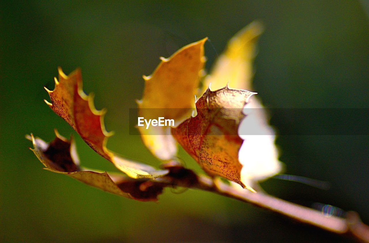 leaf, autumn, change, nature, no people, close-up, outdoors, day, growth, focus on foreground, maple, maple leaf, plant, beauty in nature, fragility