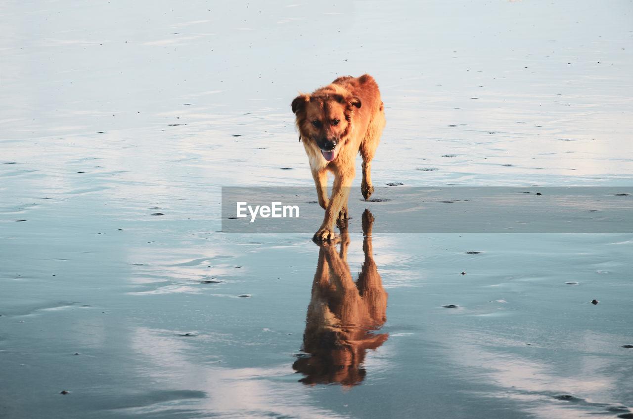 one animal, mammal, water, animal, canine, dog, animal themes, domestic animals, pets, vertebrate, domestic, reflection, waterfront, nature, no people, lake, day, wet, land