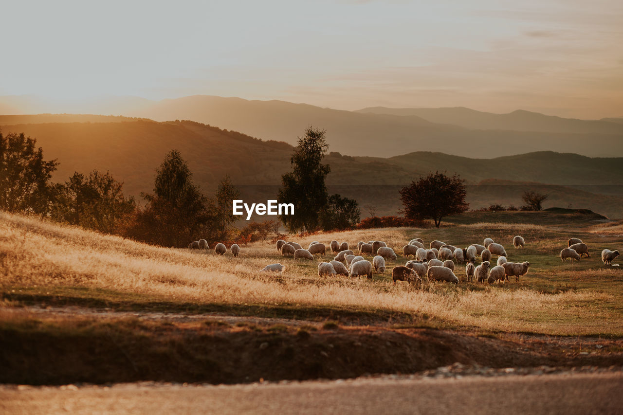 environment, landscape, mountain, sky, plant, tree, field, mammal, scenics - nature, beauty in nature, livestock, group of animals, large group of animals, animal, domestic animals, nature, land, animal themes, sheep, tranquil scene, no people, outdoors, herd, herbivorous