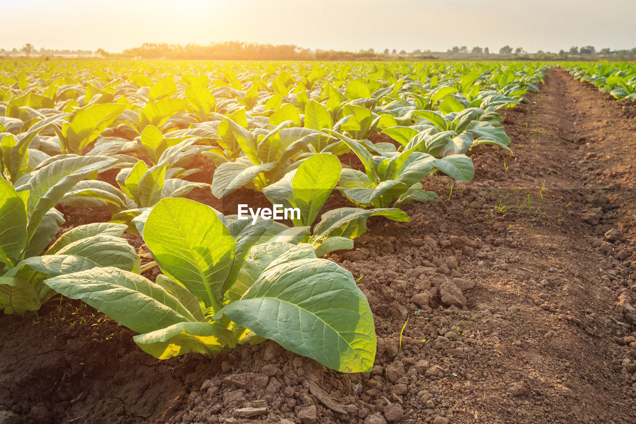 growth, field, plant, land, landscape, leaf, plant part, agriculture, farm, rural scene, nature, beauty in nature, crop, no people, green color, day, tranquility, environment, sky, outdoors, plantation, sunflower, gardening