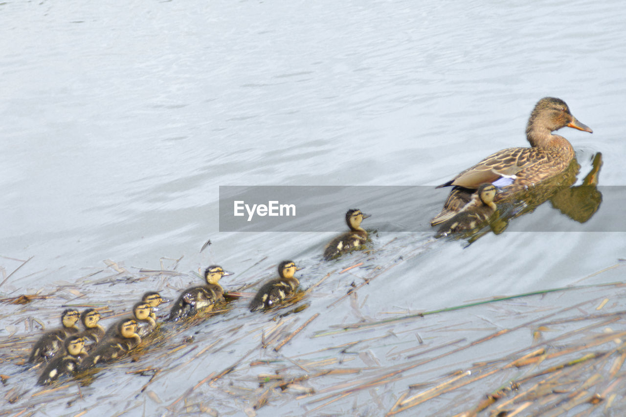 High angle view of female mallard duck with ducklings swimming lake