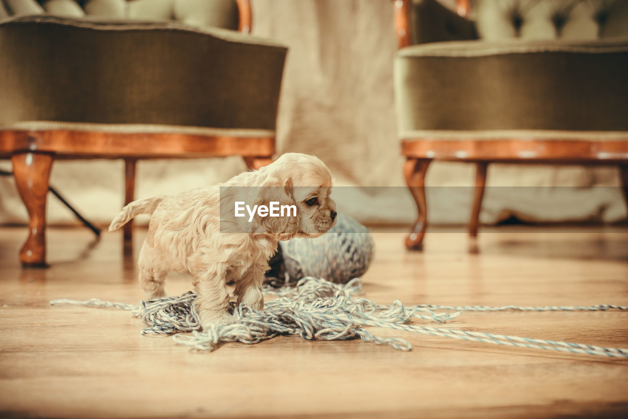 domestic, pets, domestic animals, mammal, one animal, animal themes, animal, dog, canine, indoors, vertebrate, table, seat, flooring, chair, relaxation, wood - material, selective focus, no people, wood, surface level