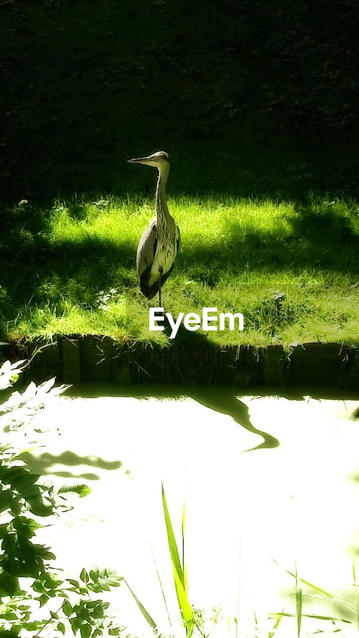 animal themes, animals in the wild, one animal, bird, reflection, lake, animal wildlife, water, nature, waterfront, green color, day, no people, heron, grass, plant, growth, beauty in nature, outdoors, sunlight, gray heron, perching