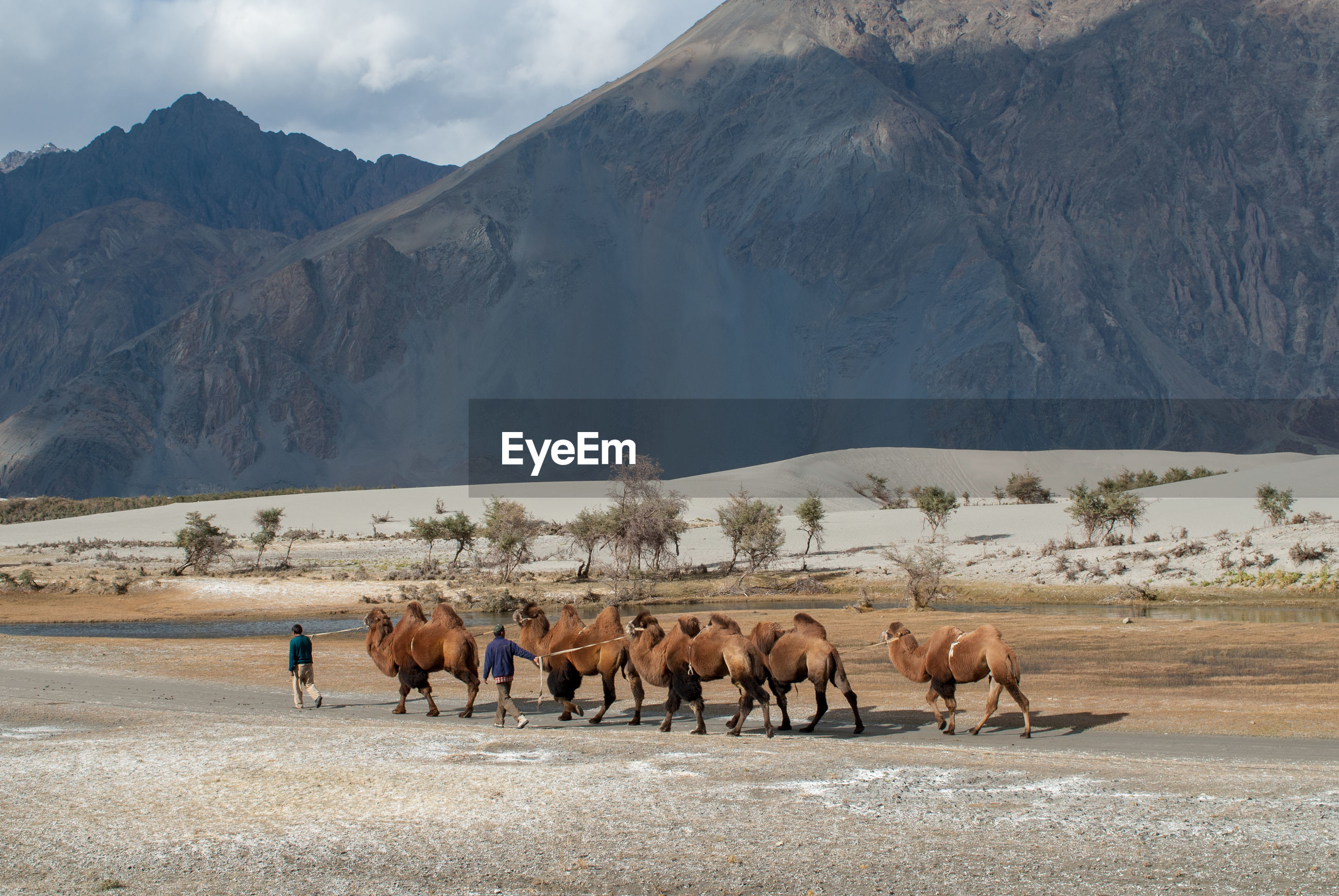 Rear view of men walking with bactrian camels on field
