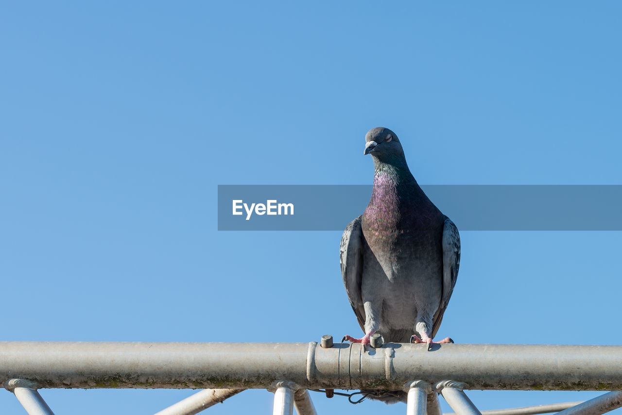 bird, vertebrate, animal themes, animal, animal wildlife, perching, animals in the wild, one animal, copy space, sky, day, clear sky, no people, blue, nature, pigeon, low angle view, railing, metal, outdoors