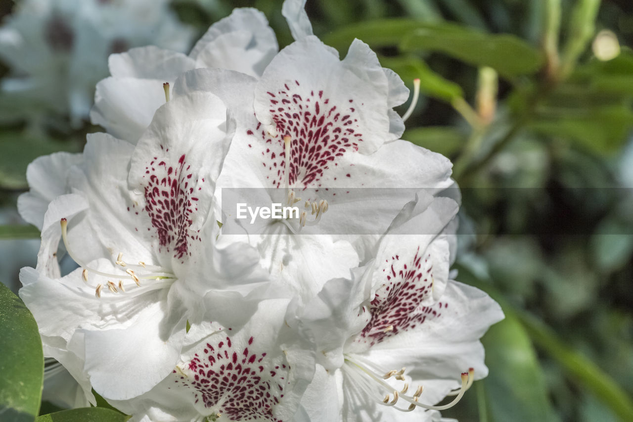 flowering plant, flower, fragility, vulnerability, beauty in nature, plant, petal, freshness, inflorescence, growth, flower head, close-up, white color, pollen, nature, focus on foreground, day, no people, botany, stamen