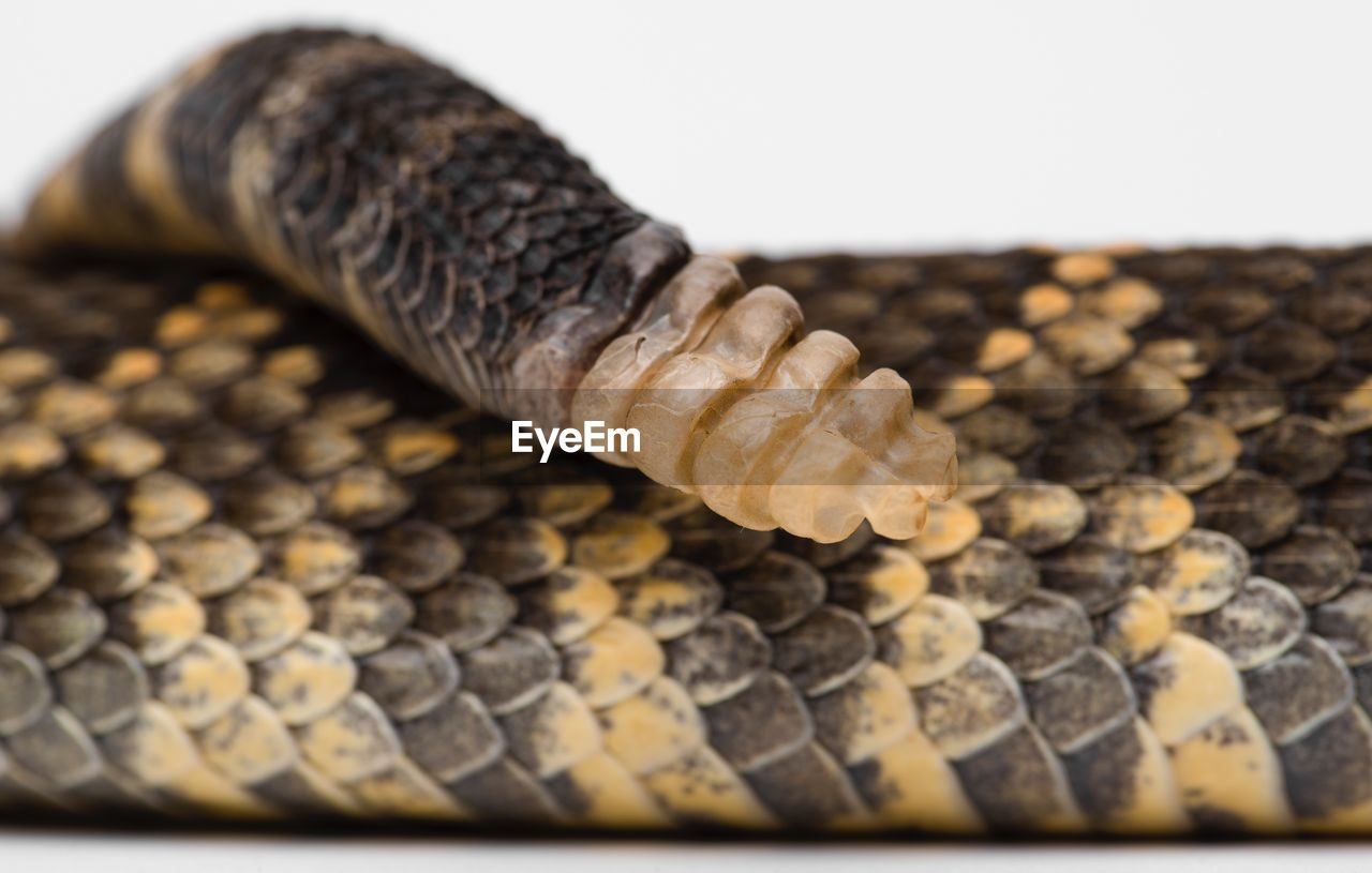Close-Up Of Rattle Snake On White Background