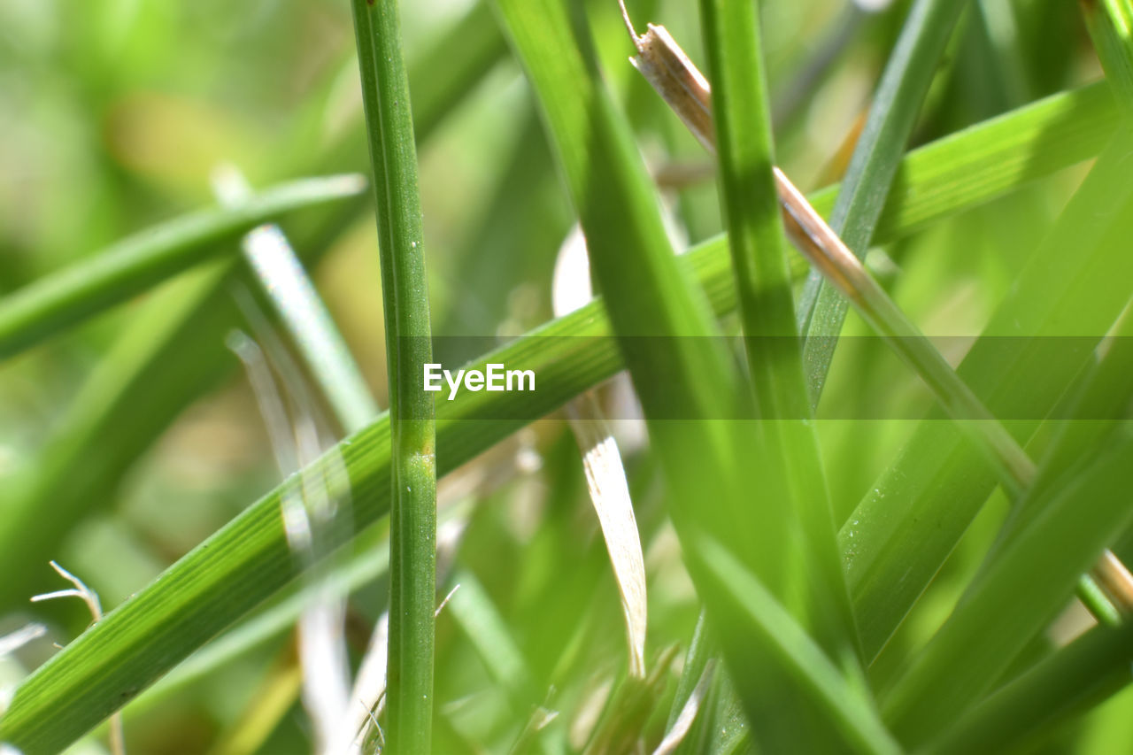 green color, growth, plant, selective focus, nature, grass, beauty in nature, close-up, day, no people, blade of grass, plant part, leaf, tranquility, outdoors, freshness, full frame, focus on foreground, field, backgrounds, dew, bamboo - plant