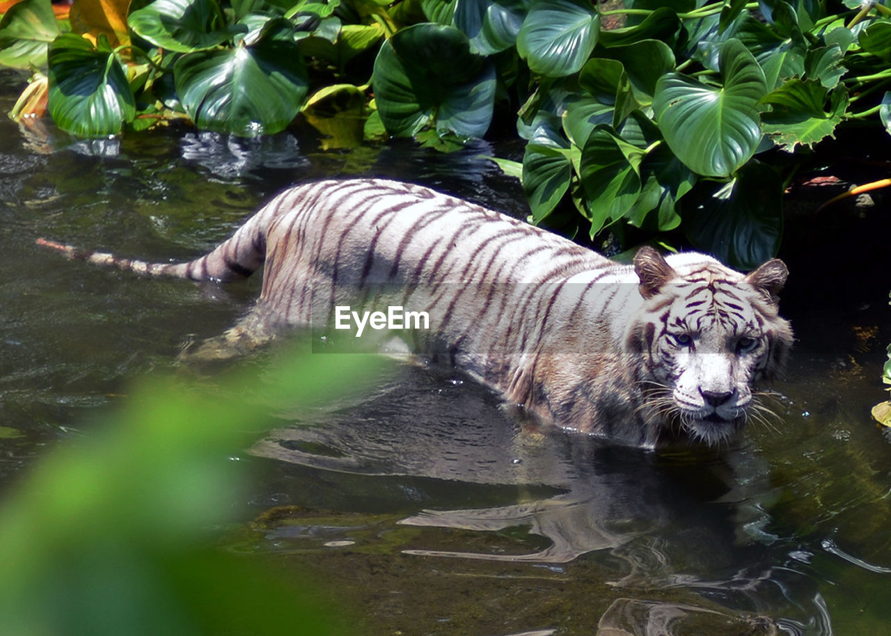 water, animal, animal themes, one animal, animals in the wild, nature, animal wildlife, feline, mammal, lake, vertebrate, tiger, cat, big cat, no people, day, leaf, plant, plant part, outdoors, white tiger