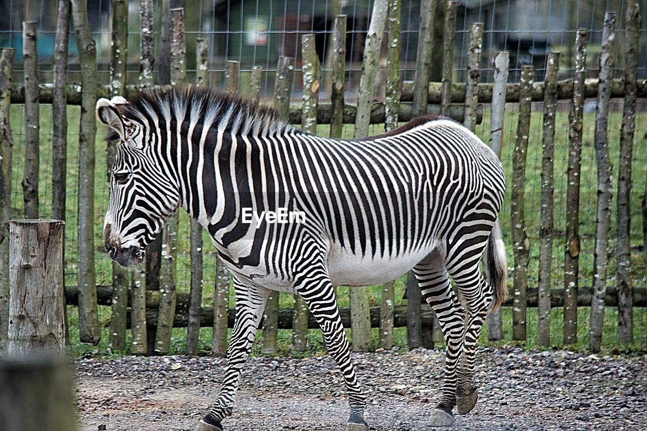 Side view of zebra in cage at zoo