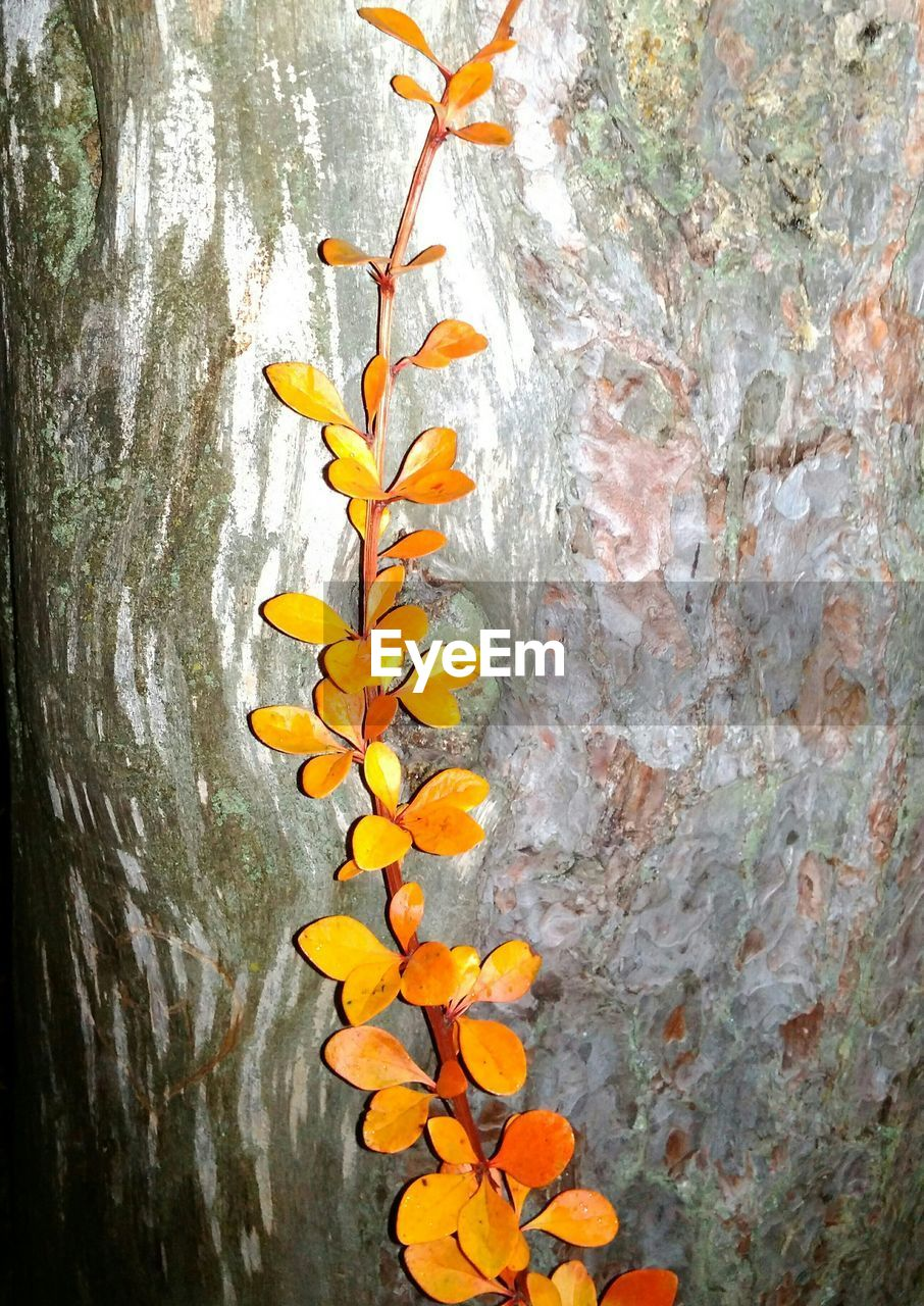 leaf, plant part, autumn, plant, close-up, orange color, no people, nature, change, yellow, tree, tree trunk, trunk, day, wall - building feature, beauty in nature, growth, leaves, outdoors, textured, natural condition