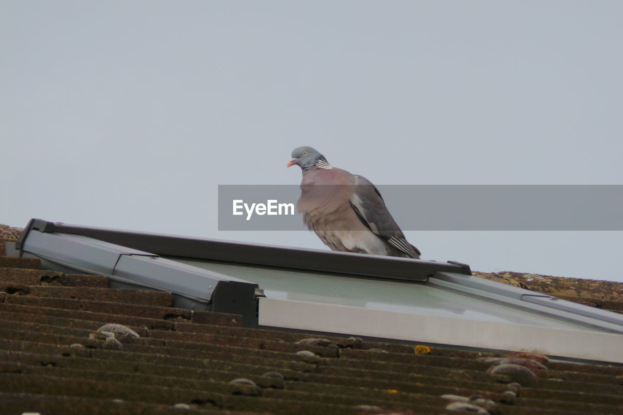 Low Angle View Of Pigeon On Roof Against Clear Sky