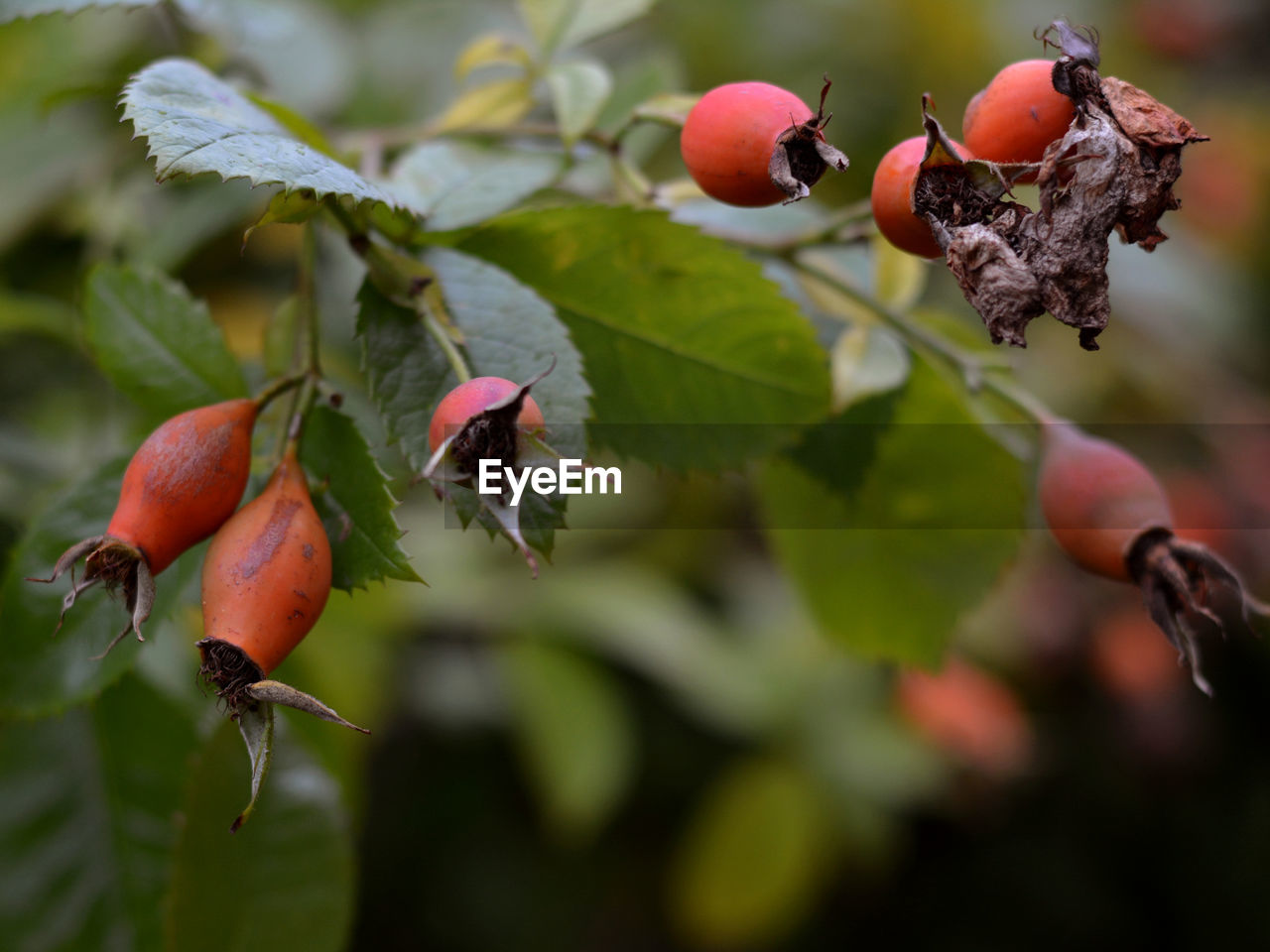 fruit, food and drink, growth, leaf, nature, rose hip, close-up, food, focus on foreground, outdoors, red, day, freshness, no people, plant, healthy eating, tree, beauty in nature