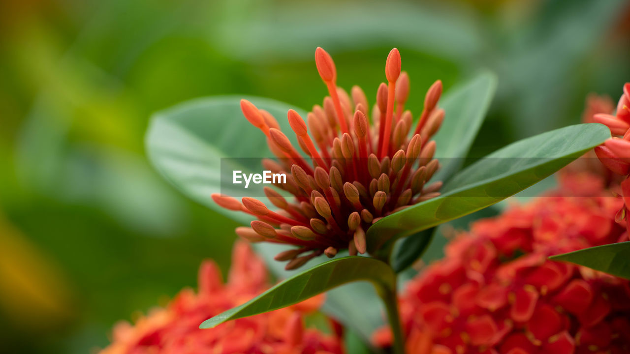 flowering plant, flower, plant, beauty in nature, vulnerability, fragility, growth, freshness, close-up, petal, flower head, inflorescence, selective focus, day, plant part, nature, leaf, red, focus on foreground, no people, outdoors, pollen