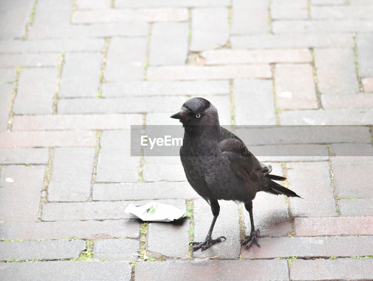 animal, bird, vertebrate, animal themes, animal wildlife, day, animals in the wild, black color, one animal, footpath, no people, cobblestone, outdoors, street, full length, wall, architecture, stone, perching, paving stone