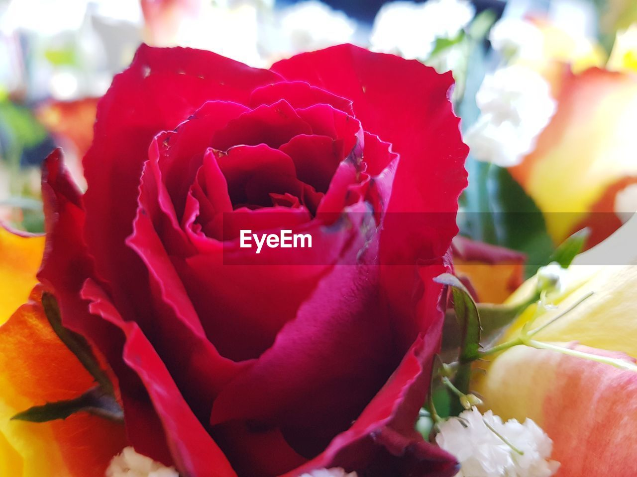 flowering plant, flower, freshness, petal, beauty in nature, fragility, plant, close-up, flower head, vulnerability, inflorescence, rose, rose - flower, red, nature, focus on foreground, no people, growth, day, outdoors, flower arrangement, bouquet