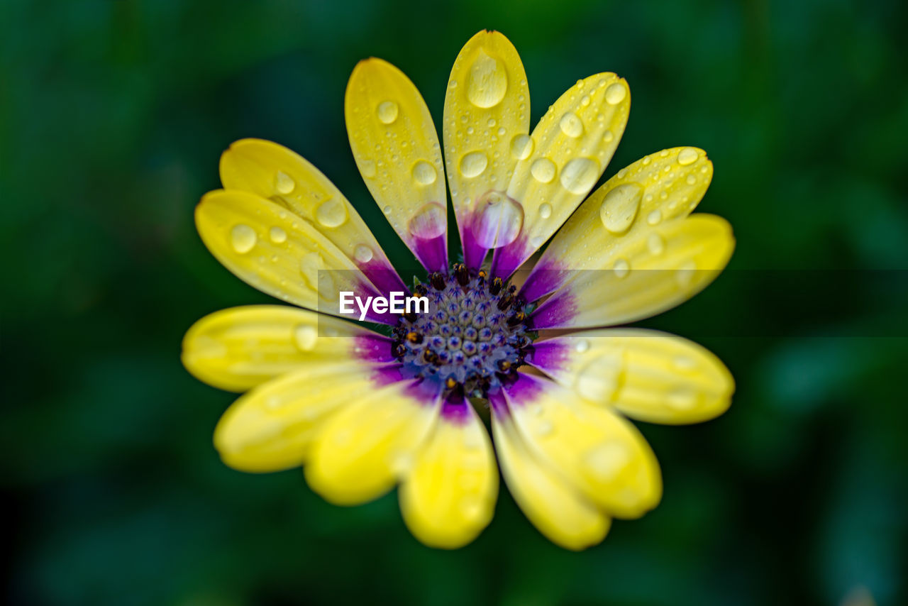 flower, flowering plant, plant, vulnerability, fragility, freshness, beauty in nature, close-up, petal, flower head, inflorescence, growth, no people, nature, selective focus, water, yellow, focus on foreground, day, drop, pollen, outdoors, purple, raindrop