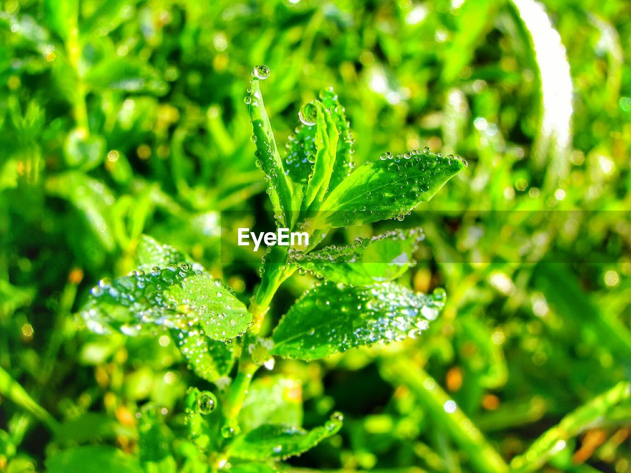 green color, growth, plant, water, drop, leaf, beauty in nature, close-up, plant part, no people, day, wet, nature, freshness, selective focus, outdoors, focus on foreground, raindrop, tranquility, rain, dew, purity, leaves