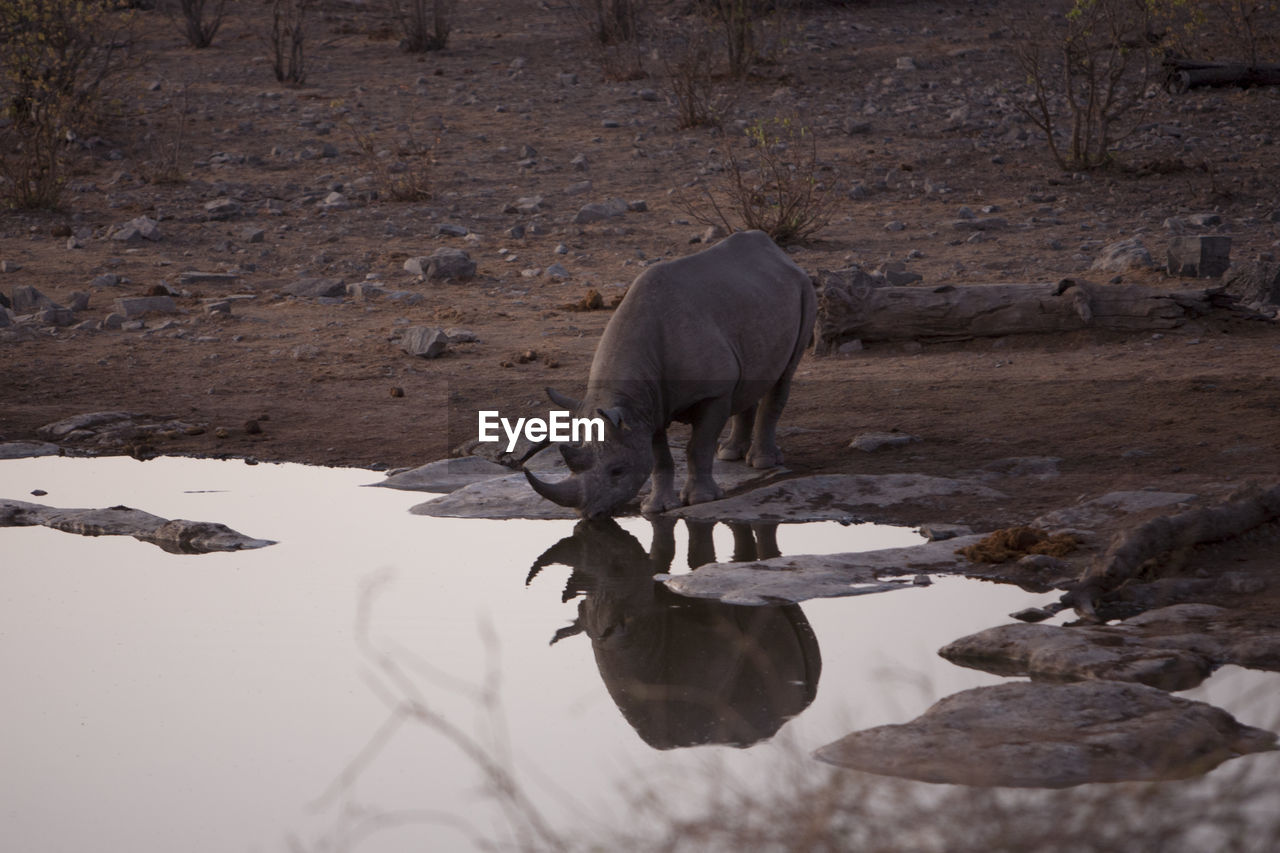 Rhinoceros Drinking Water From Lake