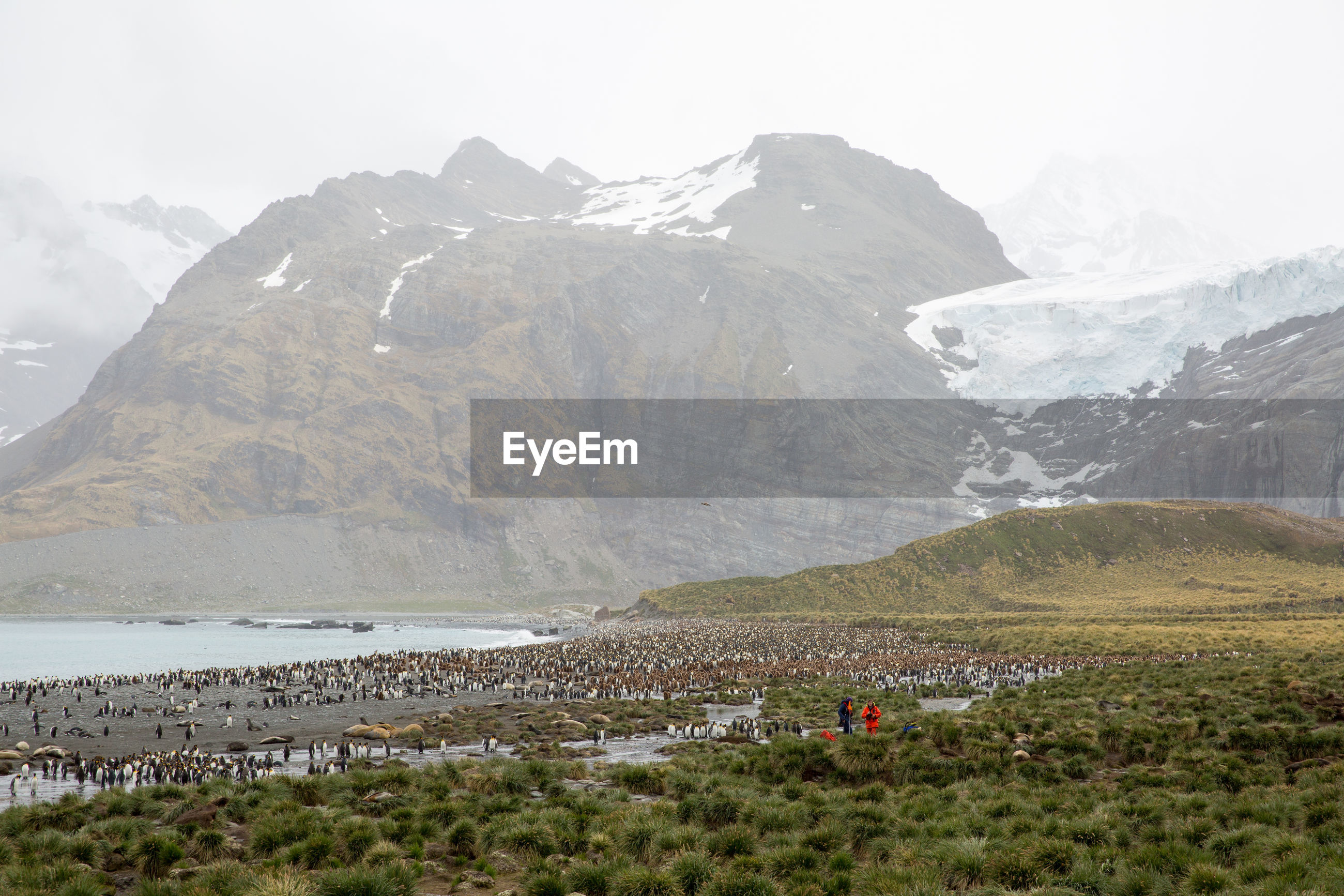 Colony of penguins at beach against mountains