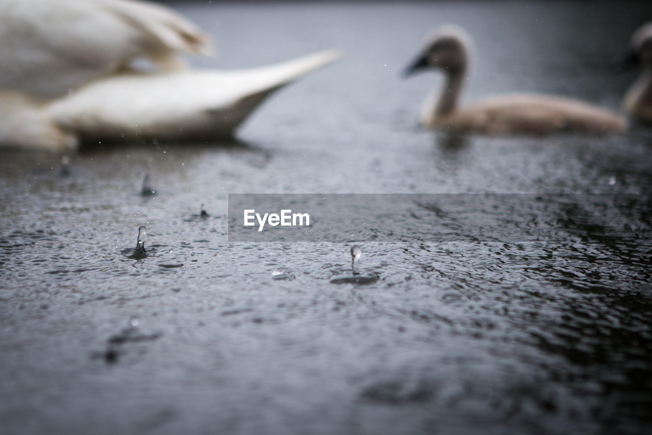 Cygnets swimming in pond