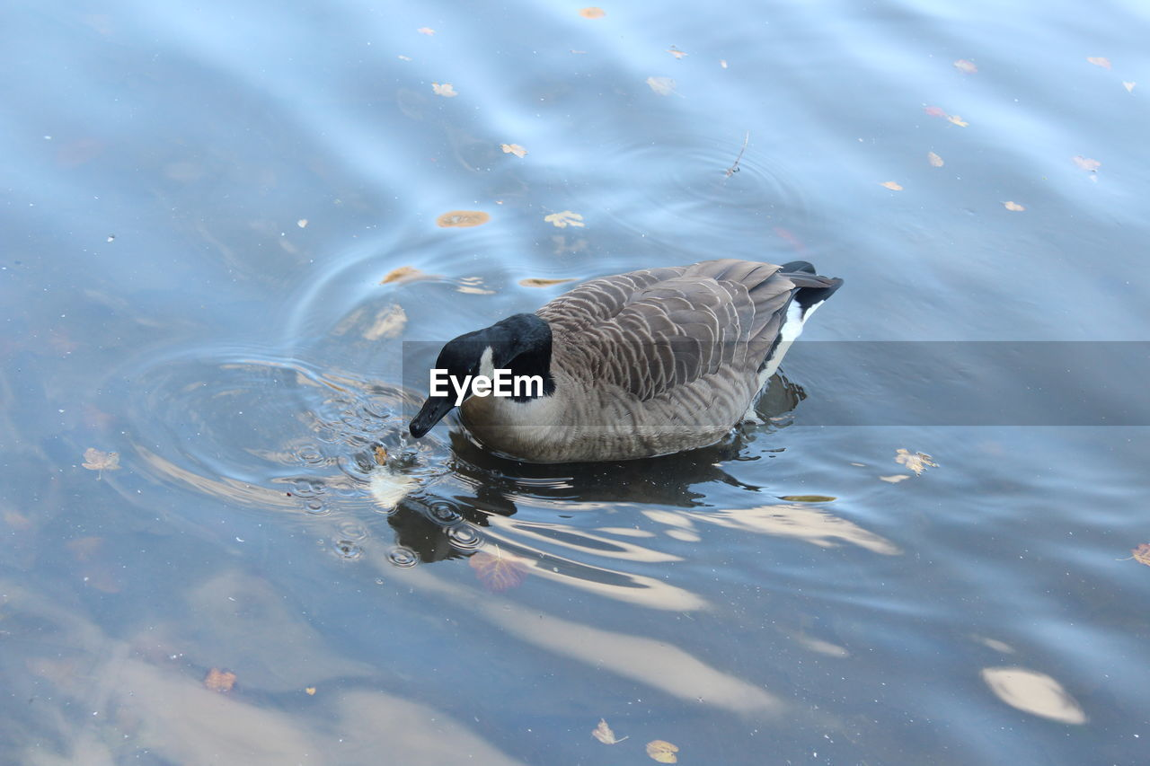 High angle view of canada goose swimming in river