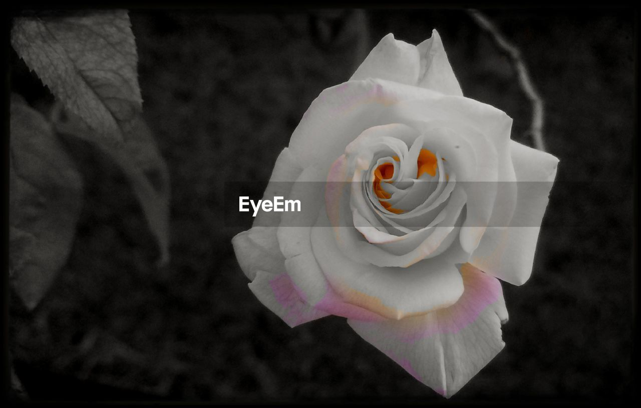 petal, flower, flower head, rose - flower, fragility, beauty in nature, white color, freshness, nature, close-up, no people, focus on foreground, blooming, growth, day, outdoors
